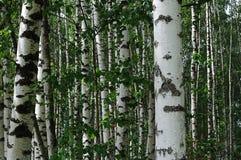 Деревья березы в лесе лета Стоковое Изображение