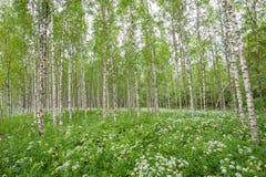 Деревья березы в лесе лета Стоковые Изображения RF