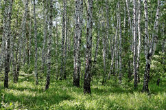 Деревья березы в лесе Стоковые Изображения
