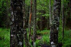 Деревья березы в лесе Стоковое Изображение RF