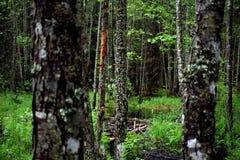 Деревья березы в лесе Стоковые Фото