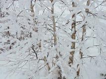 Деревья березы в заморозке, Литва Стоковое Изображение RF