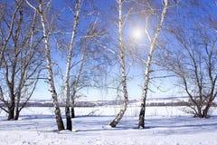 Деревья березы в зиме стоковое фото