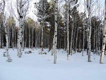Деревья березы в зиме Стоковые Изображения RF