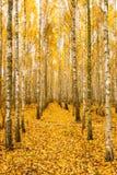 Деревья березы в листве желтого цвета леса древесин осени Русская передняя часть Стоковая Фотография
