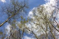 Деревья березы в их цветах весны сравнивают славно против голубого не стоковое фото rf