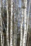 Деревья березы в последней зиме Стоковые Изображения