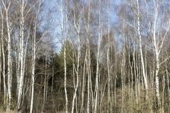 Деревья березы в последней зиме Стоковое фото RF
