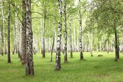 Деревья березы лета в лесе, красивой роще березы, березовой древесине Стоковое фото RF