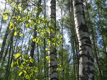 Деревья березы и листья зеленого цвета накаляя в солнечном свете Стоковые Изображения