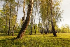 Деревья березы на солнечном glade на зоре стоковое фото rf