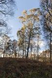Деревья березы осени на Muir Dinnet в Шотландии Стоковая Фотография RF