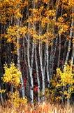 Деревья березы падения с листьями осени в предпосылке Стоковое Изображение RF