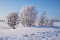 Деревья березы под изморозью в поле снега в зиме приправляют стоковые фотографии rf
