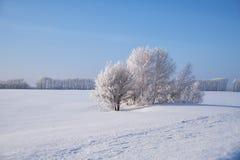 Деревья березы под изморозью в поле снега в зиме приправляют стоковая фотография rf