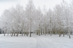 Деревья березы под высоким давлением снегом Стоковые Изображения RF