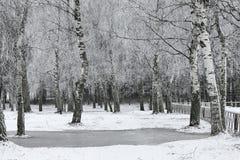 Деревья березы предусматриванные с заморозком стоковое фото rf