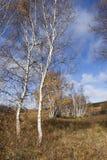 Деревья березы против голубого неба, Внутренней Монголии, Хэбэя, Mulan Weichang, Китая Стоковые Изображения