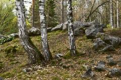 Деревья березы с большими камнями в лесе стоковые изображения rf