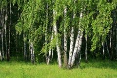 Деревья березы с молодой листвой Стоковая Фотография RF