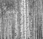 Деревья березы черно-белые Стоковые Изображения