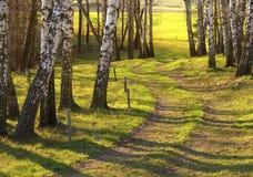 Деревья березы Стоковое Изображение