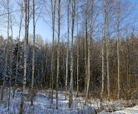 Деревья березы. Стоковая Фотография RF