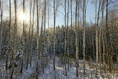 Деревья березы. Стоковые Изображения RF