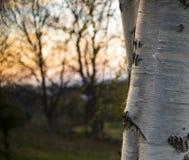 Деревья березы Стоковые Фотографии RF