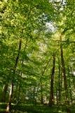 Деревья бука весны зеленые Стоковая Фотография RF