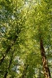 Деревья бука весны зеленые Стоковые Фото