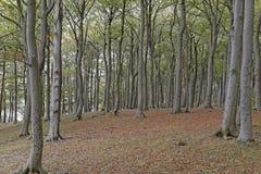 Деревья бука Стоковая Фотография