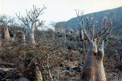 Деревья бутылки Стоковое Фото