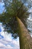 Деревья вверх против неба Стоковые Фотографии RF