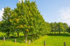 Деревья вдоль поля в солнечном свете в лете Стоковые Фото