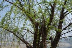 Деревья вербы растут новые листья Стоковые Фото