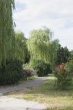 Деревья вербы Стоковые Фотографии RF
