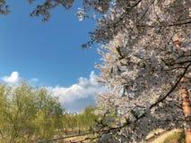 Деревья вишневого цвета и вербы стоковое фото rf