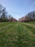 Деревья вишневого цвета от Parkview стоковая фотография rf