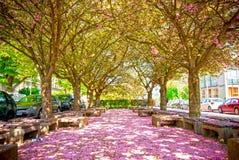 Деревья вишневого цвета Стоковая Фотография