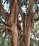 Деревья вяза с расшивой шелушения Стоковое Изображение RF