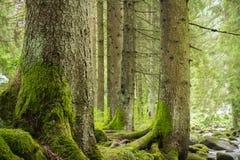 Деревья в глубоком ом-зелен лесе стоковое фото rf