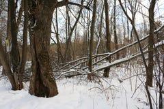 Деревья в лесе зимы Стоковые Изображения RF