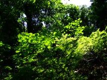 Деревья в лесе освещенном по солнцу стоковое фото