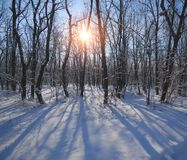 Деревья в лиственном лесе покрытом с снегом на солнечный день Стоковое Изображение RF
