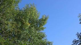 Деревья в осени на предпосылке голубого неба сток-видео