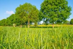 Деревья вдоль поля в солнечном свете Стоковое Изображение RF