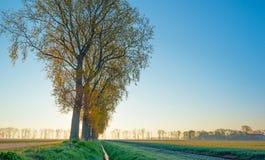 Деревья вдоль поля на восходе солнца Стоковые Изображения