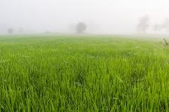Деревья в полях риса в утре Стоковые Изображения RF