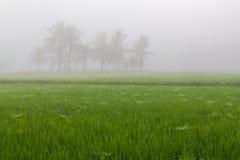 Деревья в полях риса в утре Стоковые Фото